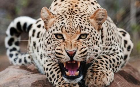 jaguar-roar-high-definition-wallpaper-for-desktop-background-free-photos-amazing-download-wonderful-1920x1200-736x459